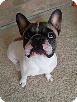 Pearland, TX - French Bulldog  Meet MAVERICK a Pet for Adoption