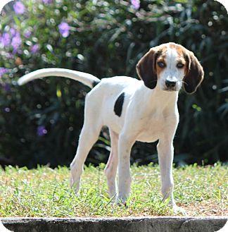 Largo Fl Treeing Walker Coonhound Meet Doc Snow White A Pet