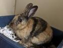 Adopt a Pet :: JESTER - Slinger, WI -  Harlequin/Harlequin Mix