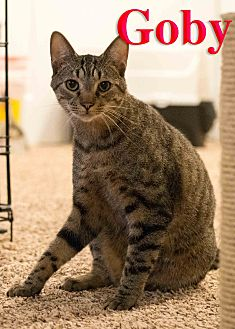 Domestic Shorthair Cat for adoption in Baltimore, Maryland - Goby