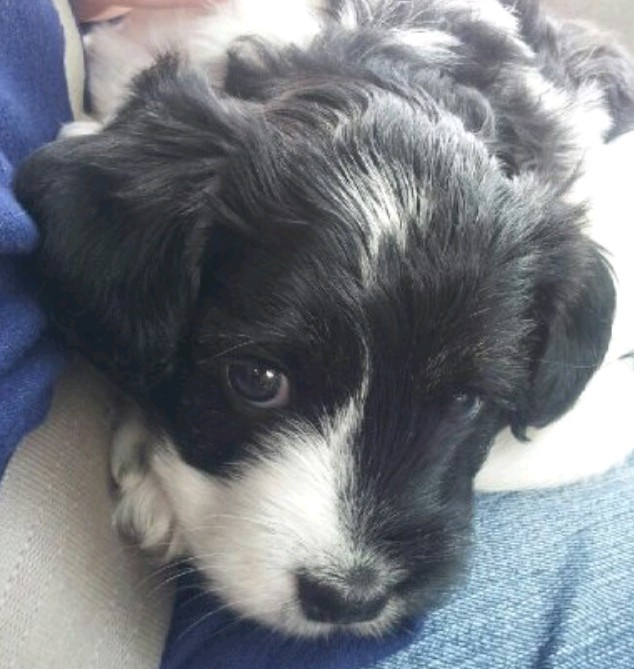 Warwick Ri Standard Poodle Meet Olaf A Pet For Adoption