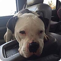 Adopt A Pet :: Buddy - Long Beach, CA