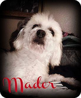Maltese/Poodle (Toy or Tea Cup) Mix Dog for adoption in Phoenix, Arizona - MADER