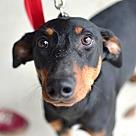 Adopt A Pet :: Bronte