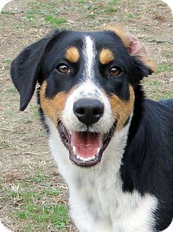 Zebulon Nc Border Collie Meet Chase A Pet For Adoption