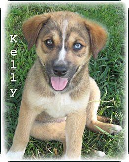 Plainfield Ct Golden Retriever Meet Kelly Miss Blue Eyes A Pet