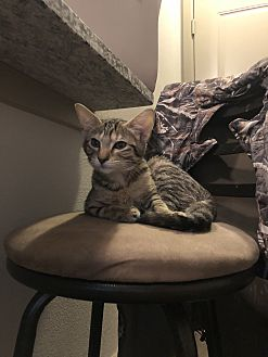 Adopt A Pet :: Minou  - Dallas, TX
