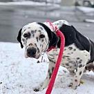 Adopt A Pet :: Pongo