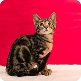 Domestic Shorthair Kitten for adoption in Houston, Texas - Fin