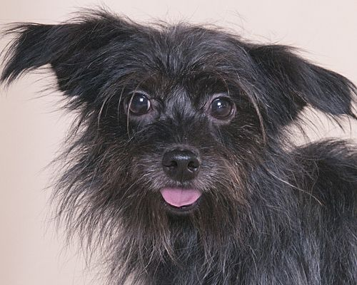 Chicago Il Yorkie Yorkshire Terrier Meet Booboo A Pet For Adoption