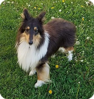 Sheltie, Shetland Sheepdog Dog for adoption in Union Grove, Wisconsin - Clyde-No More Calls