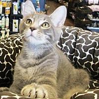 Domestic Shorthair Kitten for adoption in Lebanon, Pennsylvania - Connor