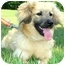 Photo 4 - Cocker Spaniel/Sheltie, Shetland Sheepdog Mix Puppy for adoption in Pawling, New York - LEVI