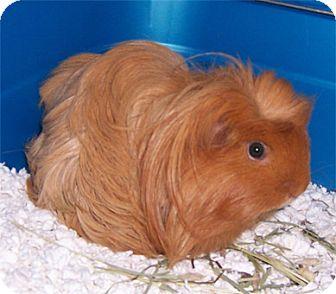 Guinea Pig for adoption in San Clemente, California - BOOMHAUER