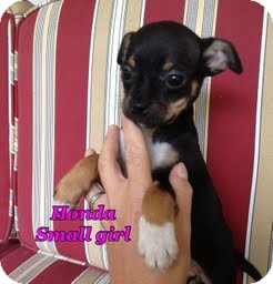 Boston Terrier/Chihuahua Mix Puppy for adoption in Hagerstown, Maryland - Honda