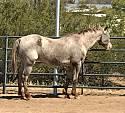 Adopt a Pet :: Mavrick - Tucson, AZ -  Appaloosa Mix
