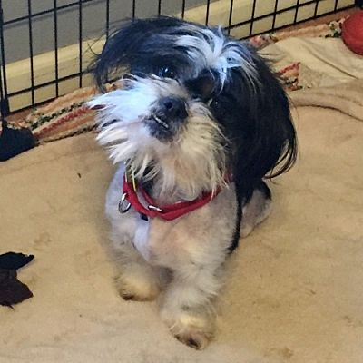 Barrington Il Shih Tzu Meet Tornado A Pet For Adoption