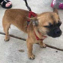 Pug Puppies for Sale in Leesburg Florida - Adoptapet com