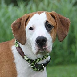 Boxer Puppies For Sale In Parkersburg West Virginia Adoptapet Com