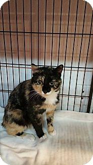 American Bobtail Cat for adoption in Montpelier, Idaho - Nebula