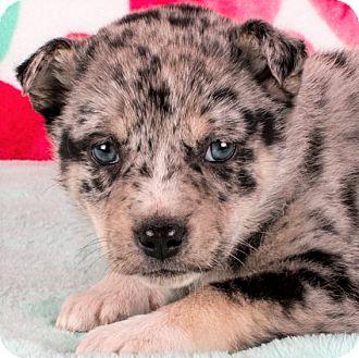 Australian Shepherd/Labrador Retriever Mix Puppy for adoption in Cincinnati, Ohio - Elaine - pending