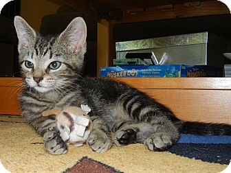 Domestic Shorthair Kitten for adoption in Southington, Connecticut - Tonto