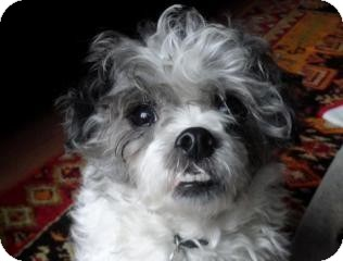 Border Terrier Cross Shih Tzu Best Photos Of Border Imagedgeorg