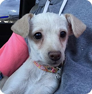 Chihuahua/Dachshund Mix Puppy for adoption in Tumwater, Washington - Cher