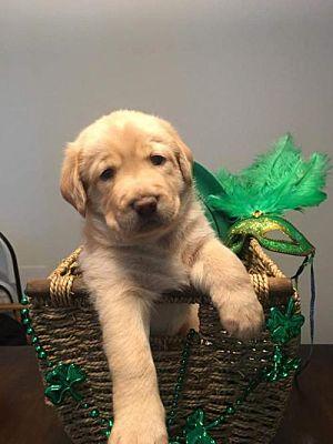 Murrells Inlet, SC - Golden Retriever  Meet Acacia's Puppy