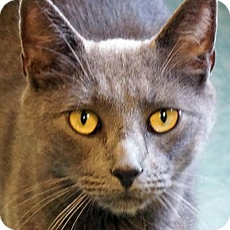 Russian Blue Cat for adoption in Sprakers, New York - Marty