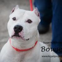 English Bulldog Puppies for Sale in Missouri - Adoptapet com