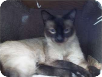 Siamese Cat for adoption in Grants Pass, Oregon - Tyson