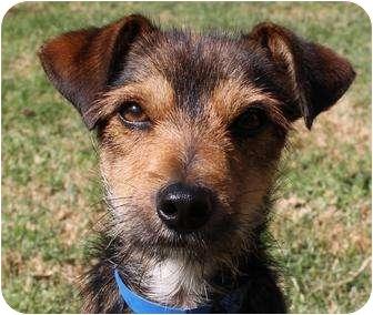 San Pedro Ca Jack Rus Terrier