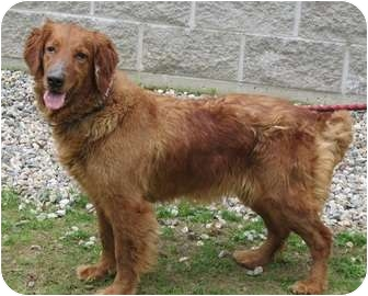 Manchester Ct Golden Retriever Meet Candie A Pet For Adoption