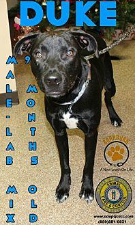 Adopt A Pet :: Duke  - Nicholasville, KY