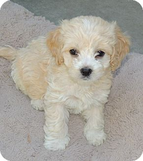 La Habra Heights Ca Cockapoo Meet Litter Of Cockapoo Puppies A