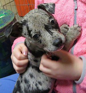 Adopt A Pet :: Pierre  - Saint Paul, MN