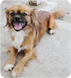Edmonton, AB - Pekingese. Meet Donnie a Dog for Adoption.