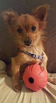 Pomeranian/Chihuahua Mix Dog for adoption in Washington, D.C. - Yoda
