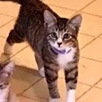 Adopt A Pet :: Tiger - Fort Worth, TX