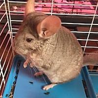 Adopt A Pet :: Shadow - NY - Granby, CT