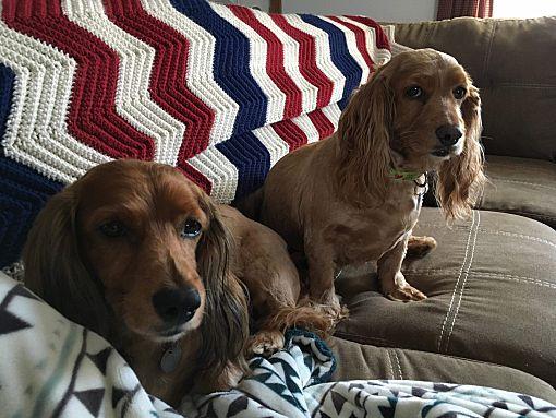 Mentor Oh Dachshund Meet Bowser 5yr Adopted A Pet For Adoption