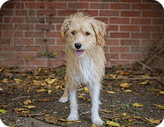 Fox Terrier Long Haired Jack Rus