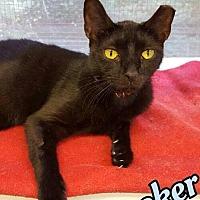 Adopt A Pet :: Knickerbocker - Huntington, NY