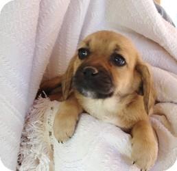 Las Vegas Nv Beagle Meet Gismo A