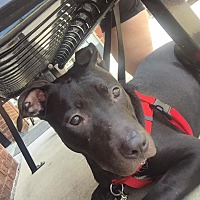 Adopt A Pet :: Buzz - Fairview Heights, IL
