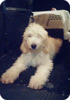 Seattle, WA - Goldendoodle  Meet Maggie a Pet for Adoption