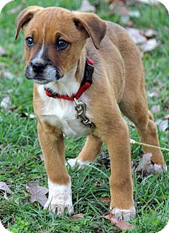 Boxer/Labrador Retriever Mix Puppy for adoption in Plainfield, Connecticut - Rani