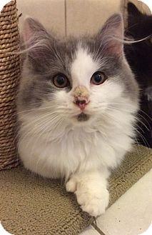 Manasquan Nj Domestic Longhair Meet Long Hair Gray White M Kitten A Pet For Adoption