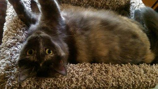St Paul Mn Maine Coon Meet Bella A Pet For Adoption
